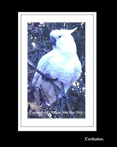 Cockatoo.SulphurCrested.A1.SunMay.(C)NjRout4.09pm30thMay2014 016