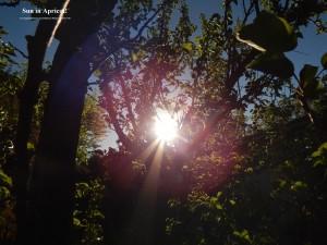 SuninApricot.EveningSun820CbracketedNjRout7.50pm11Oct2013 049.SuninApricot! Large.
