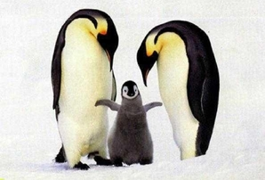 Penguins.FreeDownload.emperor_chick_and_parents1